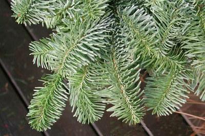 S'habiliten els punts de recollida d'arbres de Nadal.