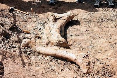 INNOCENTADA 2007Troben un fèmur i una tíbia d'un gran dinosaure al jaciment dels Pinetons.